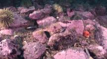 Shorthorn Sculpin, Blends In To Algae Covered Rocks