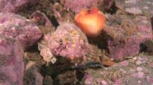 Shorthorn Sculpin, Blends In To Algae Covered Rocks