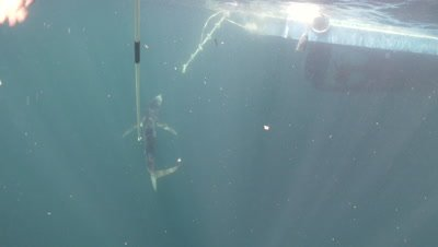 Blue Shark tagging in open North Atlantic ocean off New England,USA