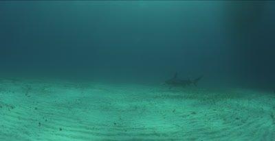 Great Hammerhead Shark (Sphyrna mokarran) over sandy seagrass habitat, Bimini, Bahamas.