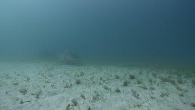 Bull Shark (Carcharhinus leucas) in murky water over sandy seagrass habitat, Bimini, Bahamas.