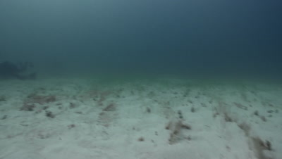 Great Hammerhead Shark (Sphyrna mokarran) over seagrass bed, Bimini, Bahamas.