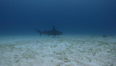 Great Hammerhead Shark (Sphyrna mokarran) over sand and seagrass bed, Bimini, Bahamas.