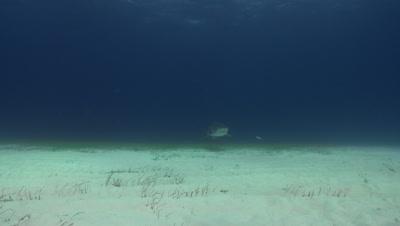 Tiger shark (Galeocerdo cuvier) swim by over sandy sea floor, Bahamas.