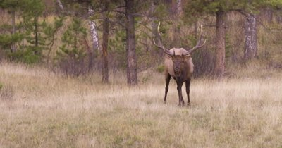 4K large male elk staring down camera for several seconds then eats dry grass