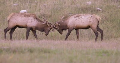 4K Two male elk lock horns and battle in dry grass of mountain forest, Slow Motion