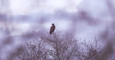 4K bald eagle perching in bare tree as clouds roll by behind then turns head