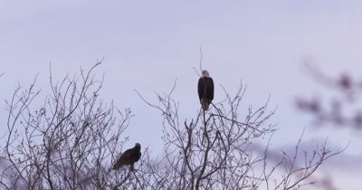 4K two bald eagles perched on top of leafless tree looking back and forth