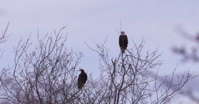 4K bald eagle through trees perched on top of leafless tree pan to two eagles on top of leafless tree