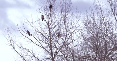 4K Five bald eagles perched in leafless tree