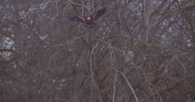 4K Bald eagle flying slow motion up to perch on leafless tree along side another eagle