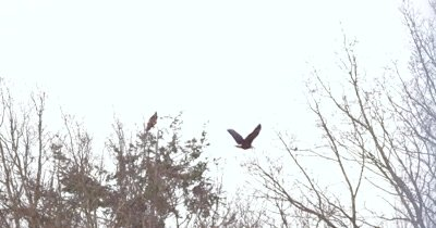 4K Bald eagle flying behind leafless trees left to right land on different one perched in tree slo motion