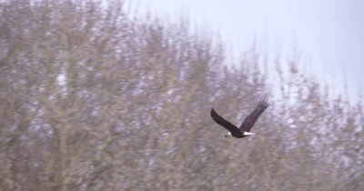 4K Bald eagle flying behind leafless trees right to lend lands on branch slo motion