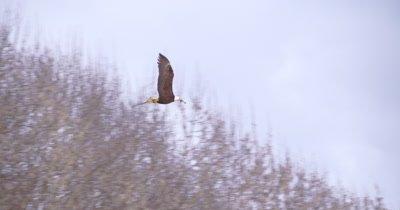 4K Bald eagle flying across frame left to right slo motion