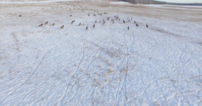 4K Aerial fly up to and follow Elk heard in winter