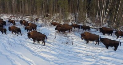 4K aerial herd of wood bison in snow, Not edited - NO Colour Correction