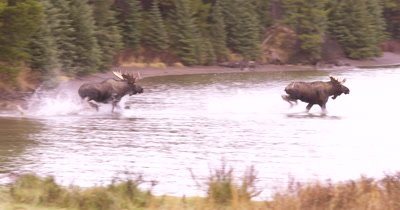4K Alpha male moose with female and older calf chases off younger male moose - SLOG2