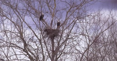 4K Bald eagle two guarding nest pan to two more battling in flight as they land on same tree, slow motion