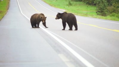 4K Grizzly Bears on road battle. Car driving up behind