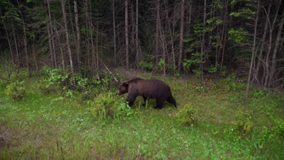 4K Grizzly Bear walking along side road beside/Close to vehicle, hand held