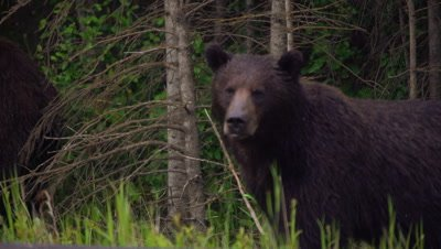 4K Grizzly Bear male and female along road side pan back and forth. They walk in to forest, Exit Frame