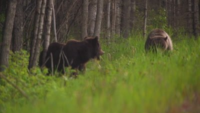 4K Grizzly Bear male and female Eating in long grass through forest. Pan back and forth