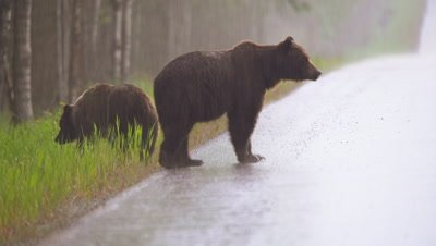 4K Grizzly Bear male and female walk up to road then back to Eat long grass in forest. Pan back and forth