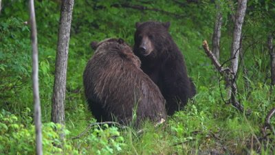 4K Grizzly Bear male and female in courting process during rain storm in forest