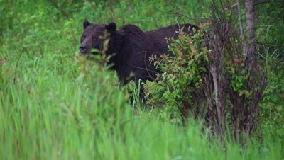 4K female & male Grizzly Bears eating grass in wooded area in rain - female collared
