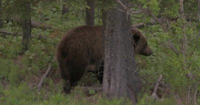 4K Grizzly Bear climbing up hill thru trees, Slow Motion - SLOG2 NOT Colour Corrected