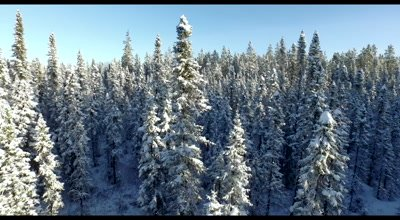 4K Aerial lower in to snow covered trees in boreal forest