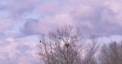 4K Bald Eagle four perched near nest in leafless tree, colourful clouds behind - NOT Colour Corrected