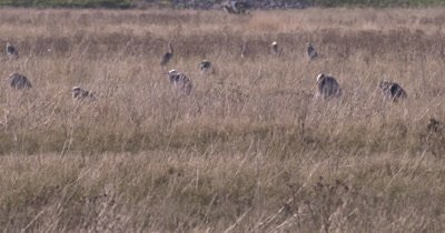 4K several Blue Herons in grass marsh, one lands, many raise heads to watch - NO Colour Correction