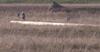 4K several Blue Herons in grass marsh, one perched on log, another flies away - NO Colour Correction