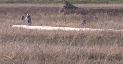 4K Blue Heron several in tall grass, one stands on log - SLOG2