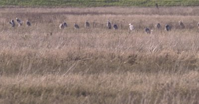 4K Blue Heron sixteen in tall grass - SLOG2