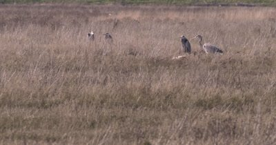 4K Blue Heron three staining, one walks towards thru tall grass, Slow Motion - NOT Colour Corrected