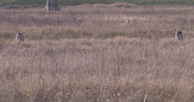 4K Blue Herons standing in tall grass  - NOT Colour Corrected