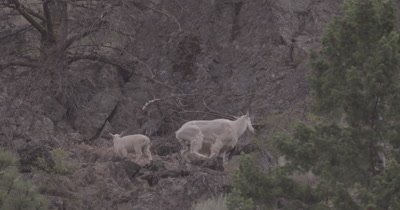 4K Mountain Goats mother and baby grazing on steep hill side while snowing, kids jumps down off ledge, Slow Motion - SLOG3 NOT Colour Corrected