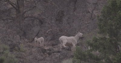 4K Mountain Goats mother and baby grazing on steep hill side while snowing, Slow Motion - SLOG3 NOT Colour Corrected