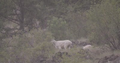 4K Mountain Goat mother and baby grazing while snowing, exists frame - SLOG3 NOT Colour Corrected