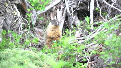 4K Marmot in front of den climbs through logs on top - SLOG2