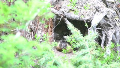 4K Marmot creeps out in front of den - SLOG2