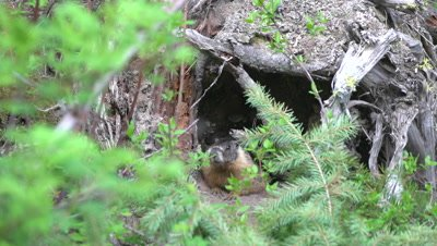 4K Marmot watching in front of den - SLOG2