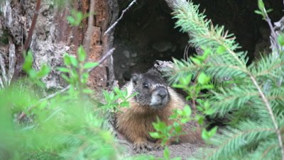4K Marmot watching in front of den Close Up- NO Colour Correction