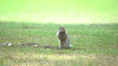 4K Ground Squirrel standing above hole chirping - SLOG2