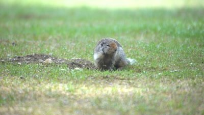 4K Ground Squirrel all fours above hole chirping - SLOG2