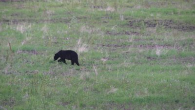 4K Black Bear eating grass, walking away  - SLOG2