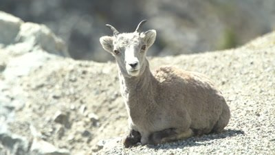 4K Stone Sheep resting/laying on rocks, tight shot - SLOG2