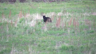 4K Black Bear in grassy meadow grazing - SLOG2